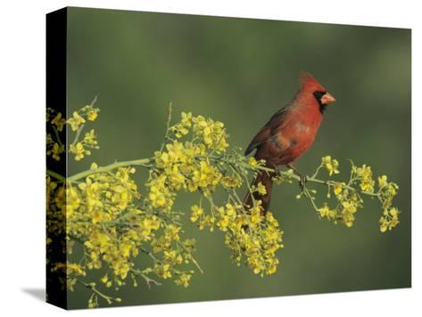 Northern Cardinal on Blooming Paloverde, Rio Grande Valley, Texas, USA-Rolf Nussbaumer-Stretched Canvas Print