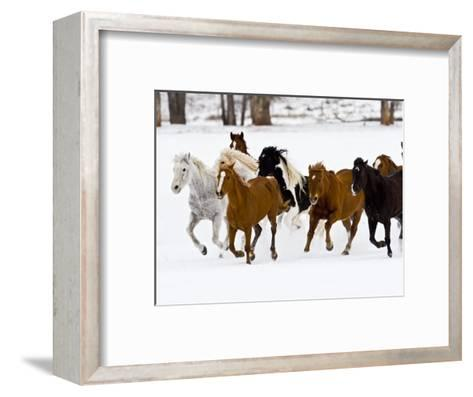 Running Horses on Hideout Ranch, Shell, Wyoming, USA-Joe Restuccia III-Framed Art Print