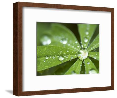 Rain Collected on Arctic Lupine, Cathedral Lake Provincial Park, British Columbia, Canada-Paul Colangelo-Framed Art Print