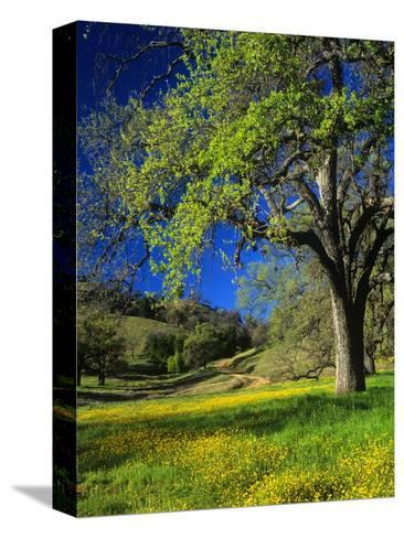 Oaks and Flowers, California, USA-John Alves-Stretched Canvas Print