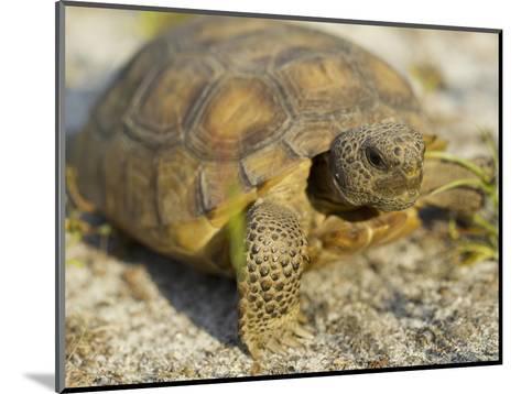 Gopher Tortoise, Gopherus Polyphemus, Wiregrass Community, Central Florida, USA-Maresa Pryor-Mounted Photographic Print