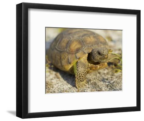 Gopher Tortoise, Gopherus Polyphemus, Wiregrass Community, Central Florida, USA-Maresa Pryor-Framed Art Print