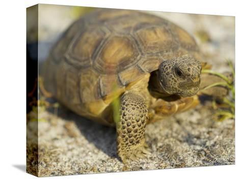 Gopher Tortoise, Gopherus Polyphemus, Wiregrass Community, Central Florida, USA-Maresa Pryor-Stretched Canvas Print