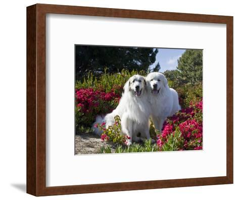 Two Great Pyrenees Together Among Red Flowers, California, USA-Zandria Muench Beraldo-Framed Art Print