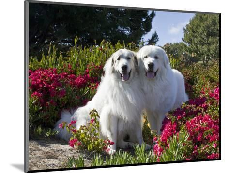 Two Great Pyrenees Together Among Red Flowers, California, USA-Zandria Muench Beraldo-Mounted Photographic Print