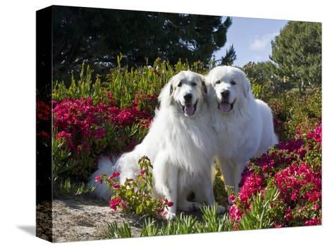 Two Great Pyrenees Together Among Red Flowers, California, USA-Zandria Muench Beraldo-Stretched Canvas Print