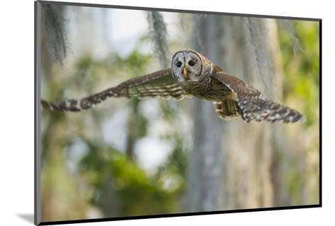 Barred Owl (Strix Varia) in Bald Cypress Forest on Caddo Lake, Texas, USA-Larry Ditto-Mounted Photographic Print