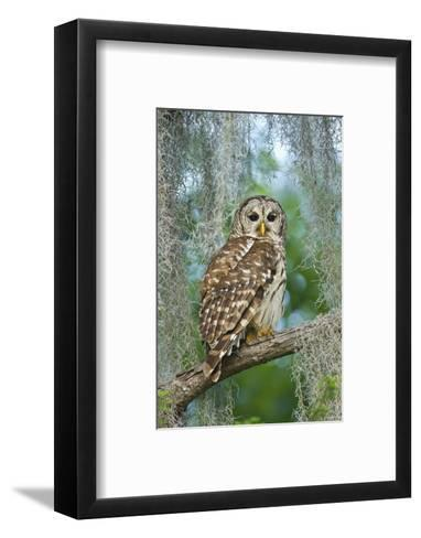 Barred Owl (Strix Varia) in Bald Cypress Forest on Caddo Lake, Texas, USA-Larry Ditto-Framed Art Print