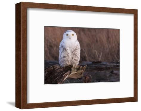 Snowy Owl, British Columbia, Canada-Art Wolfe-Framed Art Print