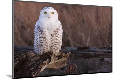 Snowy Owl, British Columbia, Canada-Art Wolfe-Mounted Photographic Print