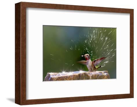 Anna's Hummingbird Taking a Shower, Santa Cruz, California, USA-Tom Norring-Framed Art Print