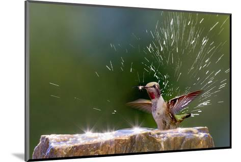 Anna's Hummingbird Taking a Shower, Santa Cruz, California, USA-Tom Norring-Mounted Photographic Print