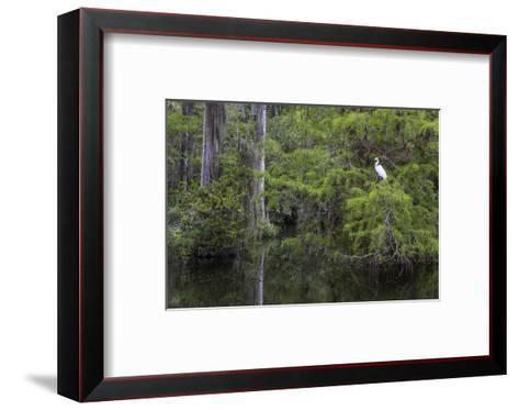 Great Egret in Everglades National Park, Florida, USA-Chuck Haney-Framed Art Print