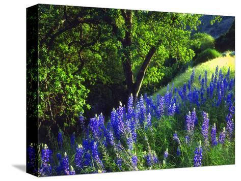 USA, California, Sierra Nevada. Lupine Wildflowers in the Forest-Jaynes Gallery-Stretched Canvas Print