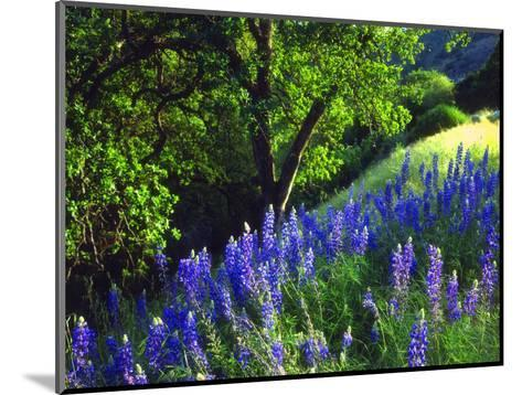 USA, California, Sierra Nevada. Lupine Wildflowers in the Forest-Jaynes Gallery-Mounted Photographic Print