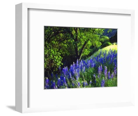 USA, California, Sierra Nevada. Lupine Wildflowers in the Forest-Jaynes Gallery-Framed Art Print
