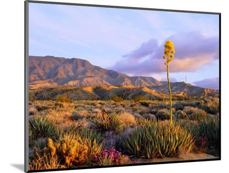 USA, California, Anza-Borrego Desert State Park. Agave Wildflowers-Jaynes Gallery-Mounted Photographic Print