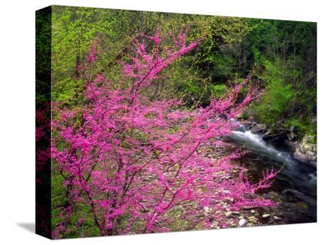 USA, Tennessee, Great Smoky Mountain Redbud Wildflowers-Jaynes Gallery-Stretched Canvas Print