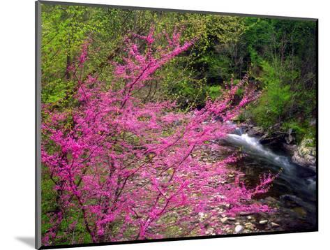 USA, Tennessee, Great Smoky Mountain Redbud Wildflowers-Jaynes Gallery-Mounted Photographic Print