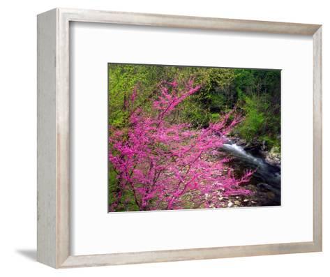 USA, Tennessee, Great Smoky Mountain Redbud Wildflowers-Jaynes Gallery-Framed Art Print