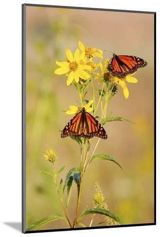 Monarch Butterflies, Prairie Ridge Sna, Marion, Illinois, Usa-Richard ans Susan Day-Mounted Photographic Print