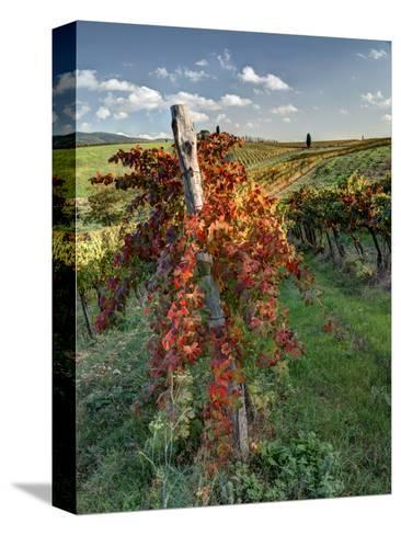 Italy, Tuscany. Vineyard in Autumn in the Chianti Region of Tuscany-Julie Eggers-Stretched Canvas Print