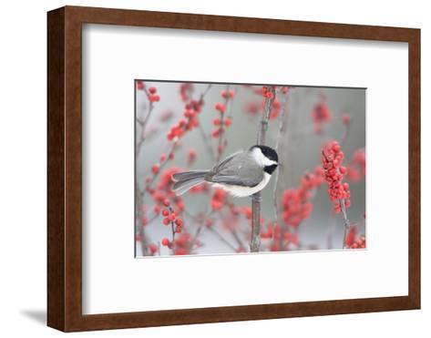 Carolina Chickadee in Common Winterberry Marion, Illinois, Usa-Richard ans Susan Day-Framed Art Print