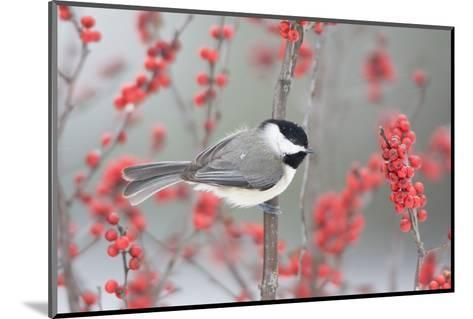 Carolina Chickadee in Common Winterberry Marion, Illinois, Usa-Richard ans Susan Day-Mounted Photographic Print