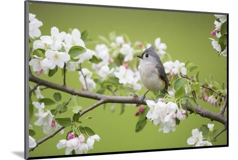Tufted Titmouse in Crabapple Tree in Spring. Marion, Illinois, Usa-Richard ans Susan Day-Mounted Photographic Print