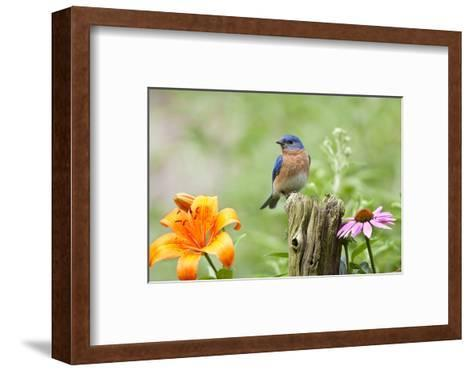 Eastern Bluebird Male on Fence Post, Marion, Illinois, Usa-Richard ans Susan Day-Framed Art Print