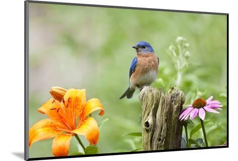 Eastern Bluebird Male on Fence Post, Marion, Illinois, Usa-Richard ans Susan Day-Mounted Photographic Print
