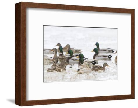 Mallards in Wetland in Winter, Marion, Illinois, Usa-Richard ans Susan Day-Framed Art Print
