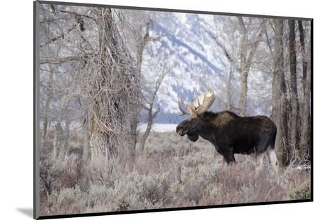 Moose in the Teton Mountains, Grand Teton NP, WYoming-Howie Garber-Mounted Photographic Print
