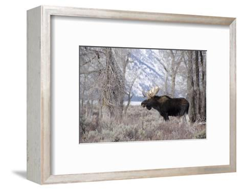 Moose in the Teton Mountains, Grand Teton NP, WYoming-Howie Garber-Framed Art Print