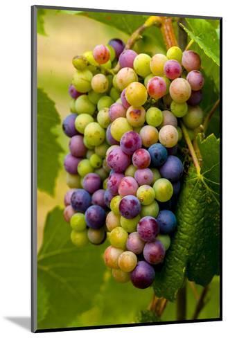 USA, Washington, Okanogan Valley. Pinot Grapes in Veraison in Vineyard-Richard Duval-Mounted Photographic Print