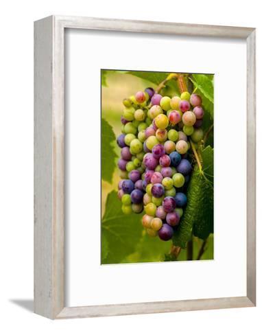 USA, Washington, Okanogan Valley. Pinot Grapes in Veraison in Vineyard-Richard Duval-Framed Art Print