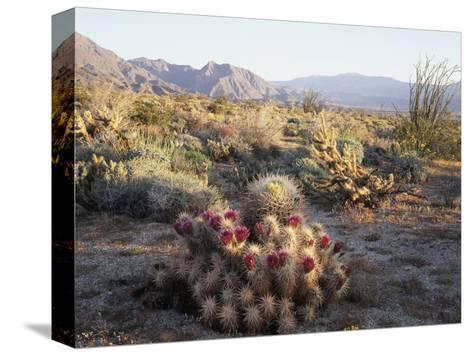 California, Anza Borrego Desert Sp, Hedgehog and Barrel Cactus-Christopher Talbot Frank-Stretched Canvas Print