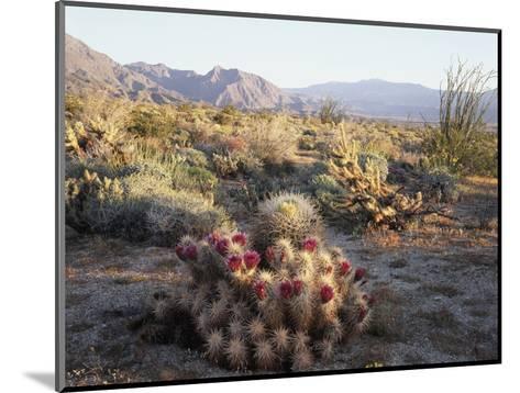 California, Anza Borrego Desert Sp, Hedgehog and Barrel Cactus-Christopher Talbot Frank-Mounted Photographic Print