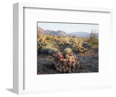 California, Anza Borrego Desert Sp, Hedgehog and Barrel Cactus-Christopher Talbot Frank-Framed Art Print