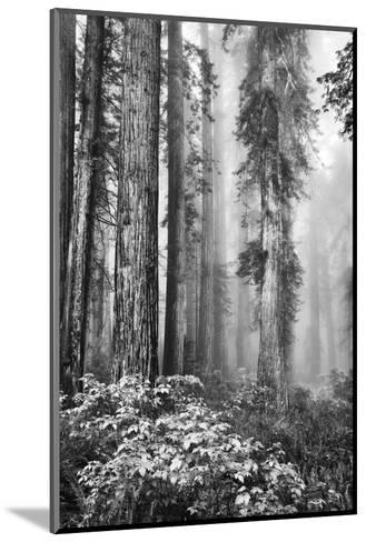 Redwood Trees in Morning Fog with Sunrays-Terry Eggers-Mounted Photographic Print