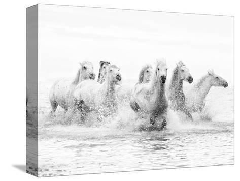 White Horses of Camargue Running Through the Water, Camargue, France-Nadia Isakova-Stretched Canvas Print