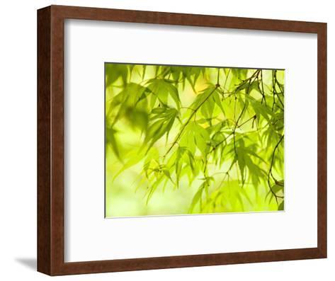 Japanese Maple (Acer) Tree in Springtime, England, UK-Jon Arnold-Framed Art Print