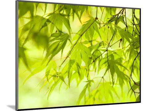 Japanese Maple (Acer) Tree in Springtime, England, UK-Jon Arnold-Mounted Photographic Print