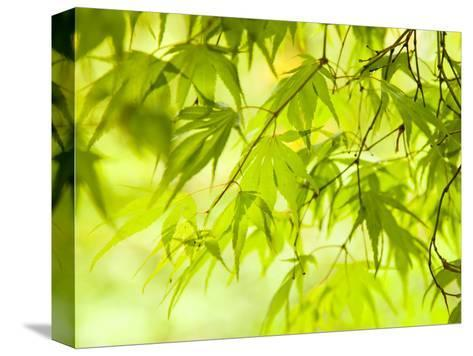 Japanese Maple (Acer) Tree in Springtime, England, UK-Jon Arnold-Stretched Canvas Print