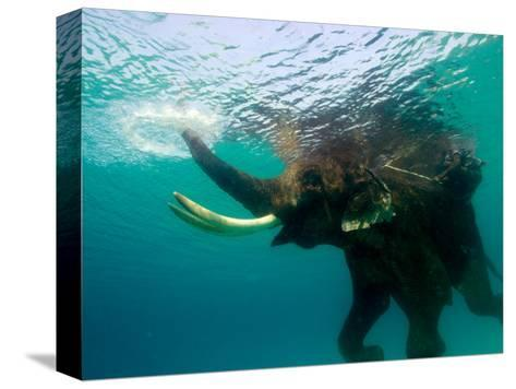 Male Indian Elephant (Elephas Maximus Indicus) Swimming Underwater-Astrid Schweigert-Stretched Canvas Print