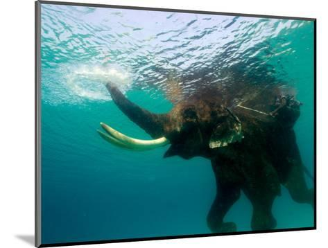 Male Indian Elephant (Elephas Maximus Indicus) Swimming Underwater-Astrid Schweigert-Mounted Photographic Print