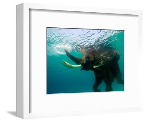 Male Indian Elephant (Elephas Maximus Indicus) Swimming Underwater-Astrid Schweigert-Framed Art Print