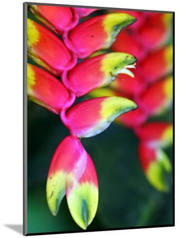 Colourful Shitulli Flower-Paul Kennedy-Mounted Photographic Print