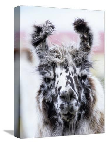 Portrait of a Llama, Estancia Rio Penitente, Near Punta Arenas, Patagonia-Holger Leue-Stretched Canvas Print