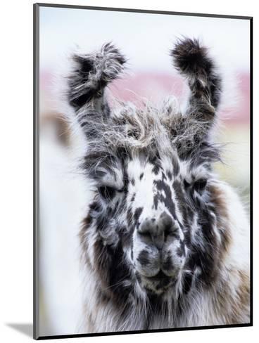 Portrait of a Llama, Estancia Rio Penitente, Near Punta Arenas, Patagonia-Holger Leue-Mounted Photographic Print